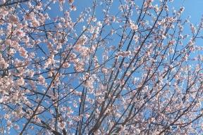 桜 ロケーション